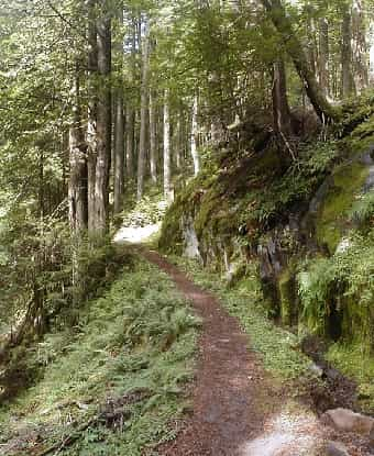 Temperate Rainforest Path